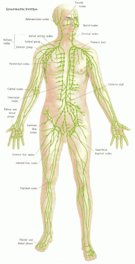 Niedlich Lymphsystem Bilder Diagramme Ideen - Menschliche Anatomie ...